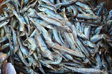 SARDINE, FROZEN SARDIN, DRIED SARDINE, SMOKE SARDINE FISH