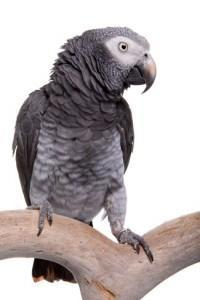 Africa Grey parrot