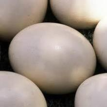 Fertile Ostrich and parrot Eggs and Chicks