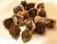 Best Quality Moringa seeds