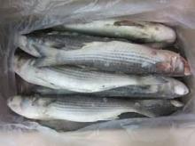 wholesale Fresh Whole round Frozen Mullet fish