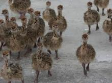 Day Old ostrich chicks