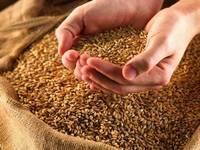 Milling Wheat, Feed Wheat, Buckwheat, Rye