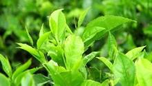 Green tea extract,Green tea P.E. reduce blood pressure export