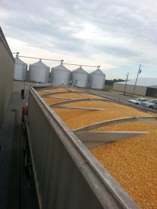 Best Price Yellow Corn /White Corn /maize For Sale
