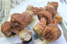 Freeze-drying Matsutake Mushroom