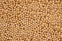 High- Protein Soybean For Milk/ IP Soybean/ Yellow Soya beans