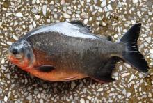 Frozen Red Pacu