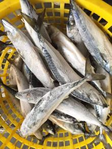 Frozen bullet tuna new arrival