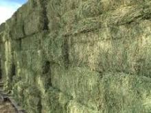 Alfalfa Hay /Lucerne hay