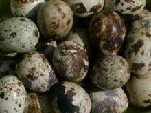 See larger image Fresh fertile quail eggs. Add to My Cart Add to My Favorites Fresh fertile quail