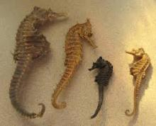 Sun Dried Sea Horse