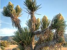 Yucca Schidigera Extract,Pure Yucca Schidigera Extract, Yucca Plant Extract Powder,Sarsaponin