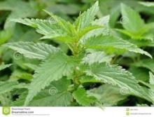 nettle extract,nettle plant extract,nettle leaf extract powder,nettle herb extract