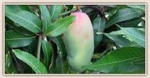 King Garden Premium Dried Mango
