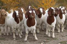 Alive boer goats for sale
