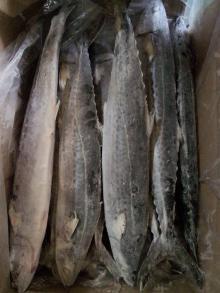 Spanish atlantic mackerel,horse mackerel