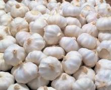 Organic garlic, dry garlic and fresh garlic