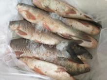 Freshly Chilled Rahu 500 grams to 5 kg size Pakistan River Catch