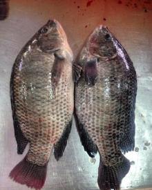 Black & Red Tilapia 500 grams to 2 kg size (Farm bred) Pakistan origin