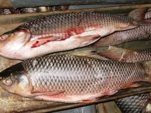 Rahu W/R 500 grams to 5 kg size Pakistan Wild Catch