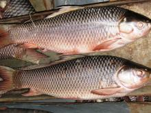 Rahu fish W/R 500 grams to 5 kg size Pakistan Wild Catch