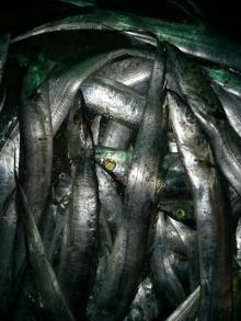 Ribbonfish AA+ (Japan/S.Korean standard) 700~3000 grams sizes Hook Line Catch