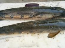 Fresh Snakehead Fish (River Catch) 0.3 kg~5 kg sizes
