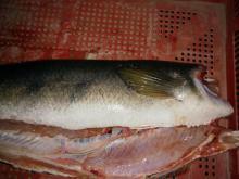 Snakehead Fish fillets HGT (River / Wild Catch) 0.3 kg~5 kg sizes