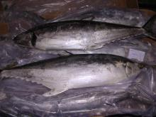 High Grade Whole Body BQF Frozen Skipjack Tuna for Sale
