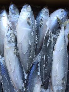 Whole pcs/kg Frozen Pacific Round Mackerel