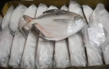 Fresh Frozen White Silver Pomfret Fish