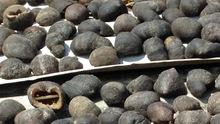 Dried Ball Sea Cucumber wholesale