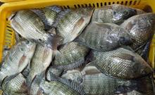 Black/Red Tilapia, Golden pompano, Vannamei Shrimp, Squid, $400-1200 mt
