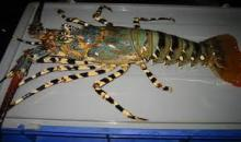 LIVE Tiger Lobster , Panuliru Ornatus