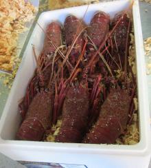 Live Spiny rock lobster, (Panulirus Cygnus)