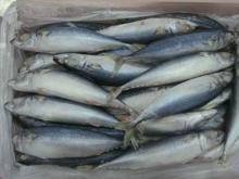 Frozen SkipJack Tuna / Frozen Bonito Fish