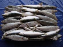Frozen Pacific Sardine Size 40-50