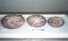 FROZEN OCTOPUS (BALL TYPE)