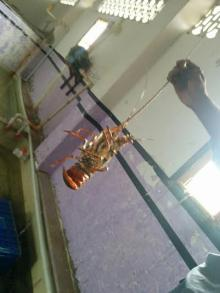 Live Crayfish / Live Lobsters / Live Bambo Lobsters / Live Rock Lobsters