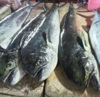 Frozen Mahi Mahi Fish Whole Round,Catfish Fish,Frozen Cod Fish,