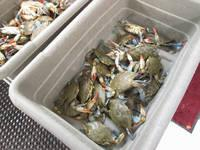Live Crabs Available in Large Quantity Live Crabs Available in Large Quantity