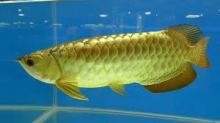 Super red Arowana fish and other fishes