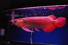 Violet Fusion Super Red Arowana fish