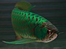 Fresh Water Asian Arowana Fish