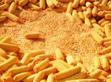 YELLOW CORN/MAIZE FOR ANIMAL FEED GRADE AAA