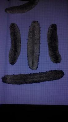 Dried Sea Cucumbers / Sea Cucumbers / Dried Seafood from Pakistan