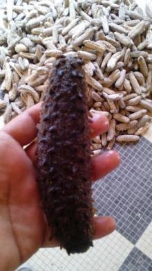 "We sell all kinds of Sea Cucumbers / Dried Sea Cucumbers 3"" to 12"" sizes"