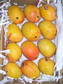 Alphonso Mangoes Certified Exporter for Uk / USA
