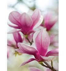 Magnolia Fragrance Oil/ Mandarin Essential Oil/ Manganese Violet